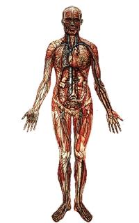 Lymphsystem des Menschen