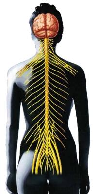 Zentrales Nervensystem (ZNS)